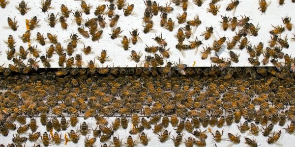 Bee Bacteria Beats Antibiotics